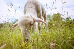Biały jagnięcy łasowanie - stojący na trawie Zdjęcia Royalty Free