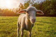 Biały jagnięcy łasowanie - stojący na trawie Obraz Stock