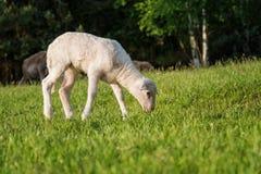Biały jagnięcy łasowanie - stojący na trawie Obrazy Royalty Free