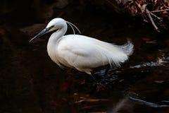 Biały Japoński egret watuje w rzecznym profilowym widoku Obrazy Royalty Free