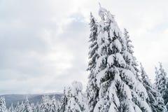 Biały jedlinowy drzewo pełno śniegu i gór krajobraz na tle Fotografia Stock
