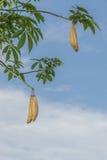 Biały jedwabniczej bawełny drzewo Zdjęcia Stock