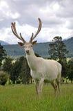 Biały jeleń w aksamicie fotografia stock