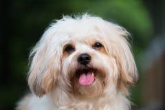Biały kałuża psa portret obraz royalty free