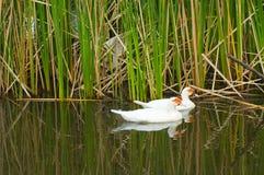 Biały kaczki Zdjęcia Royalty Free