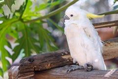 Biały kakadu na gałąź z zielonym liścia tłem Zdjęcia Royalty Free