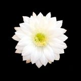 Biały Kaktusowy kwiat odizolowywający na czarnym tle zdjęcie royalty free
