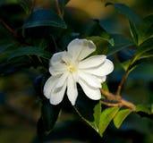Biały Kameliowy okwitnięcie Obraz Royalty Free