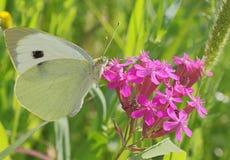 Biały kapuściany motyl Zdjęcia Royalty Free