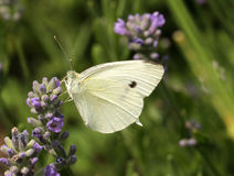 Biały kapuściany motyl Zdjęcia Stock