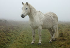 biały koń Zdjęcie Royalty Free