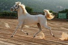 biały koń Fotografia Royalty Free