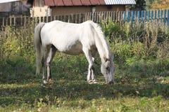 Biały koń Fotografia Stock