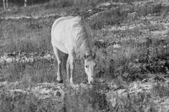 Biały koń obrazy stock