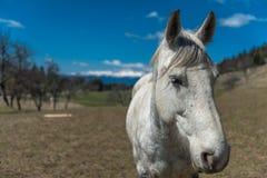 Biały koń Obrazy Royalty Free
