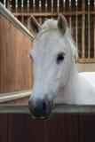 Biały koń Zdjęcie Stock