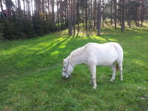 Biały koń Zdjęcia Stock