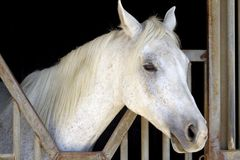 biały koń arabskiego Zdjęcia Stock