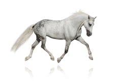 biały koń arabskiego Obrazy Royalty Free