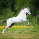 Biały koń bawić się na łące Zdjęcia Royalty Free