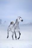 Biały koń biega na wietrznym zimy tle Obrazy Royalty Free