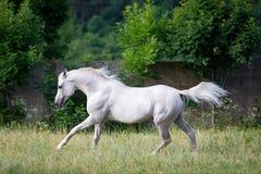 Biały koń biega przez pole. Fotografia Royalty Free