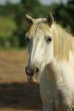 biały koń camargue Zdjęcia Royalty Free