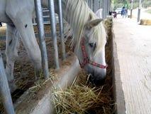 Biały koń je niektóre słomę fotografia royalty free
