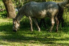 Biały koń je zielonej trawy zdjęcia royalty free