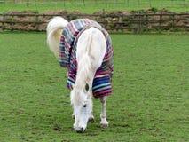 Biały koń jest ubranym pasiastego zimna pogoda żakiet obrazy stock
