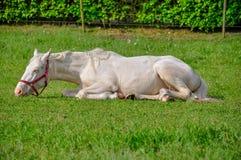 Biały koń kłaść na trawie w lecie Fotografia Stock