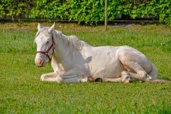 Biały koń kłaść na trawie w lecie Obraz Royalty Free