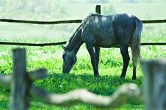 biały koń karmienia Obrazy Royalty Free