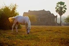 Biały koń na trawie w Angkor Wat zdjęcia stock