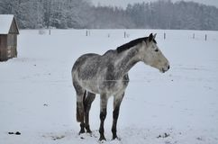 Biały koń na zima paśniku Zdjęcie Stock