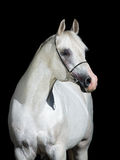 Biały koń odizolowywający na czerni zdjęcie stock