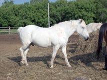Biały koń podnosi jego nogę zdjęcia royalty free