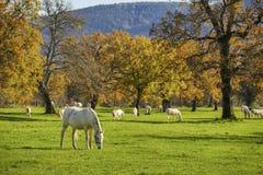 Biały koń przed jesieni polami Obrazy Stock