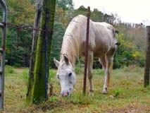 Biały koń przy Fenceline Fotografia Royalty Free