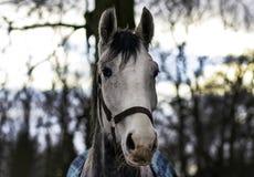 Biały koń przy zmierzchem Zdjęcia Stock