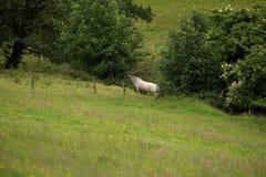 Biały koń w lesie fotografia stock