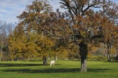 Biały koń w odległym sezonie jesiennym Obrazy Royalty Free