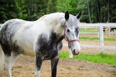 Biały koń wewnątrz dapple popielatego Fotografia Royalty Free