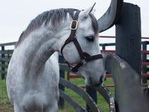 Biały koń wyścigowy fotografia stock