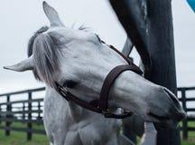 Biały koń wyścigowy zdjęcia stock