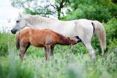 Biały koń z źrebięciem w polu. Fotografia Stock