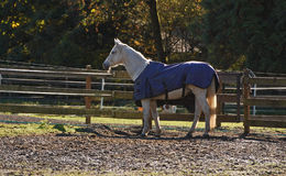 Biały koń z błękitną koc Zdjęcia Stock