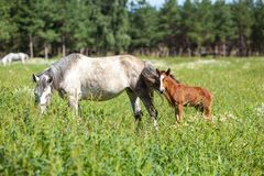 Biały koń z brown źrebięciem Zdjęcia Royalty Free