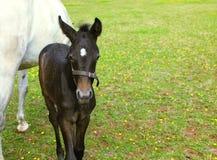 Biały koń z czarnym źrebakiem. Zdjęcie Royalty Free