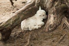 Biały koźli dziecko fryzuje w górę chować pod drzewem Obraz Stock